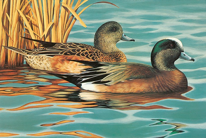 American Wigeons-Copyright 1987 - 8 x 11 3/4