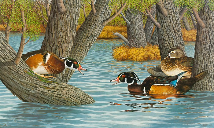 """The Contest""(Wood ducks in spring)-Copyright 1984 - 15 x 25"